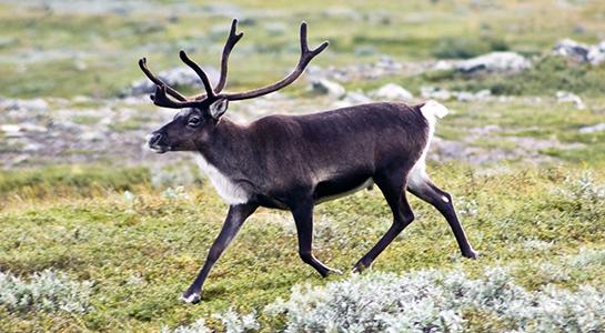 Охота на севере Сахалина на северного оленя. (Охота временно закрыта)